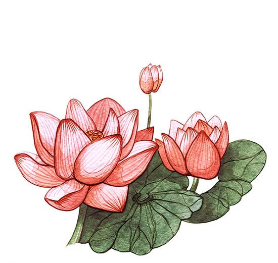 lotus watercolor drawings
