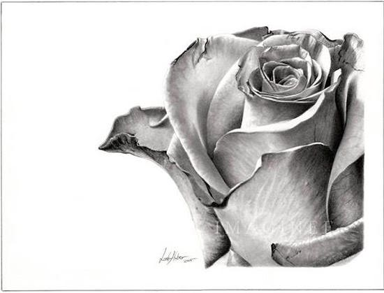Pencil drawing rose