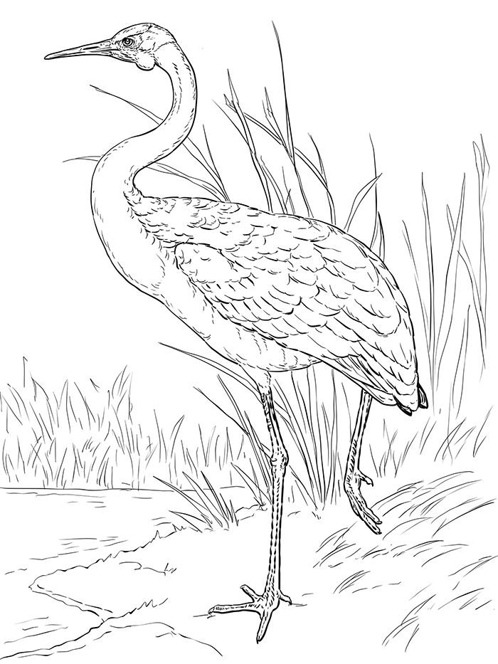 australian brolga coloring page