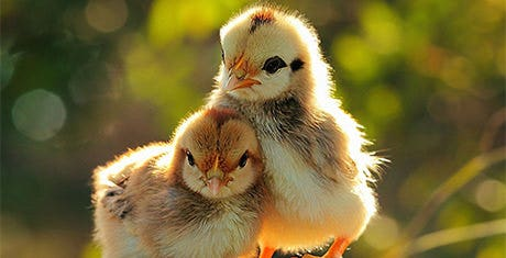 chickenshapetemplates
