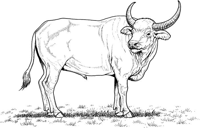free african buffalo coloring page