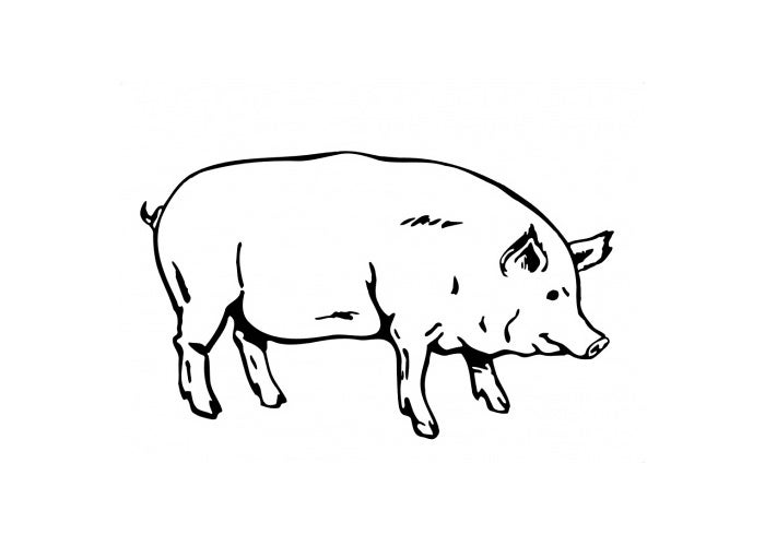 pig labeled body parts diagram sketch coloring page
