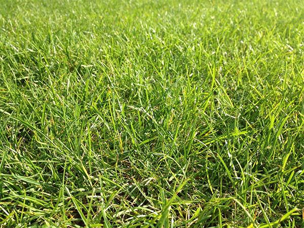 green grass1