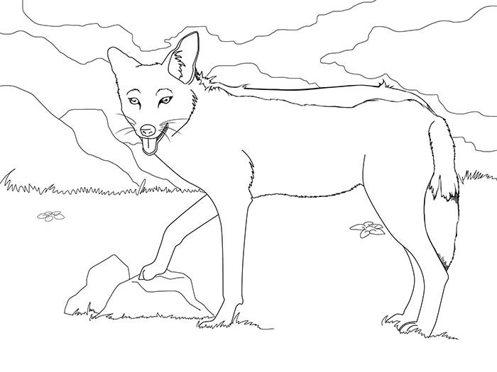 Jackal Coloring Page  The Exploring Nature Educational