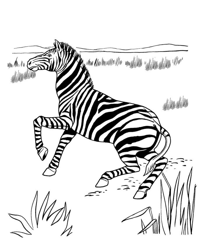pin zeebra coloring page