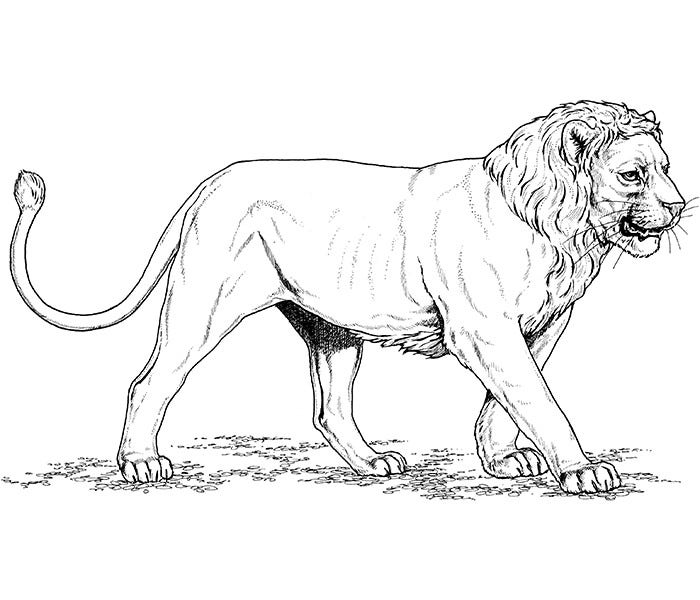 Printable African Lion Template