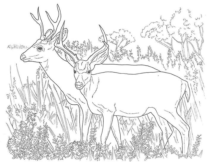 printable deer coloring page