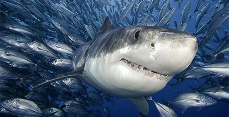 sharktemplates