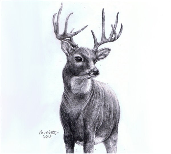 It is another among the pencil sketches of deer it has a professional touch and seems to have been made by some expert painter as it has a perfect look