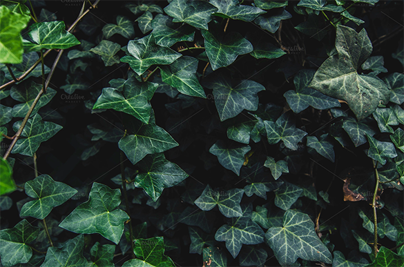 free dark ivy leaves background download