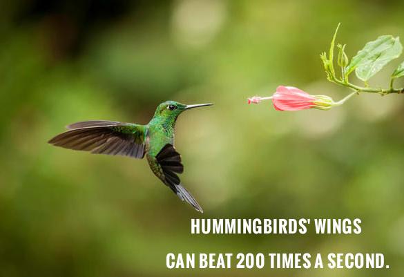hummingbirds fact