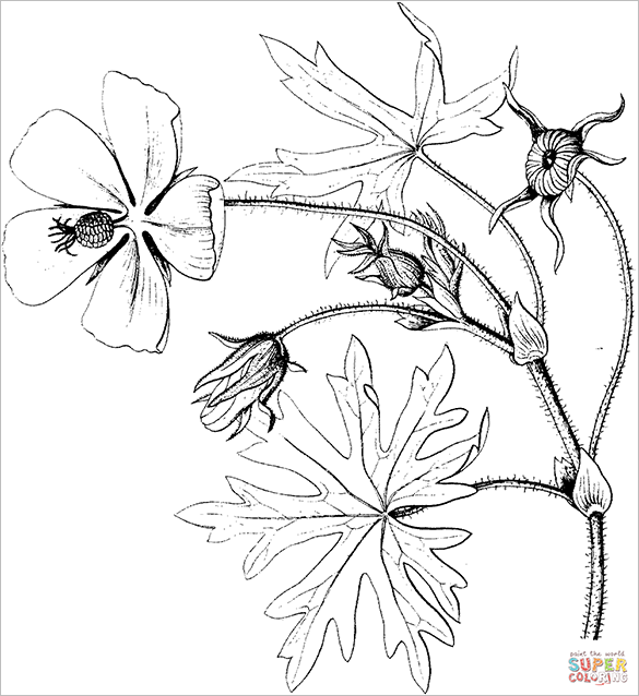 purple poppy mallow colouring page for free