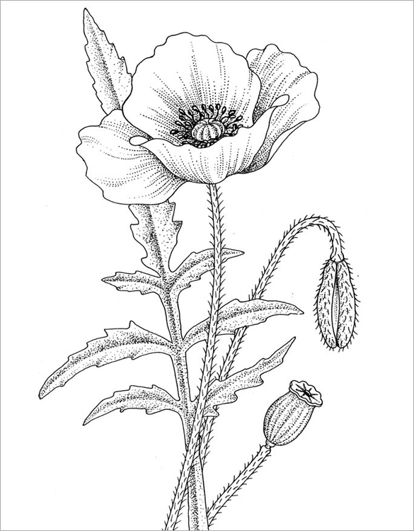 poppy corn coloring page - 19 poppy coloring pages pdf jpg free premium templates