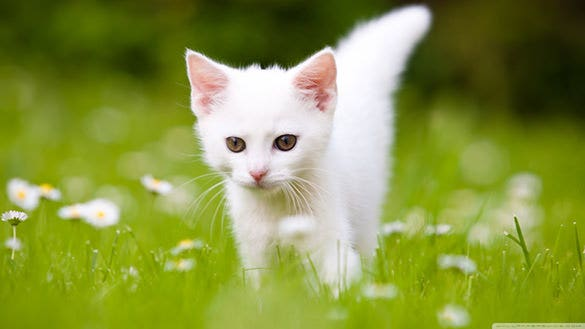 cute white kitten desktop background pictures