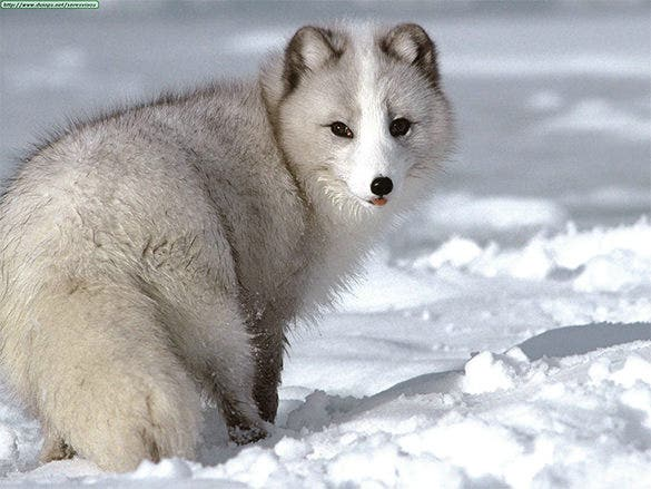 artic fox screensavers free download