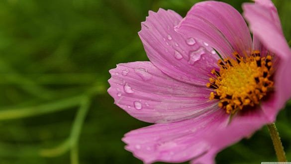 download cosmos flower wallpaper for windows xp