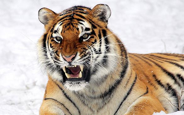 wild tiger predator hd background for desktop
