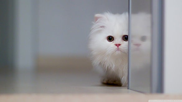free download cute white cat wallpaper for desktop