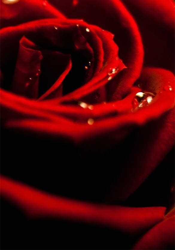 beautiful red rose xiaomi mi background