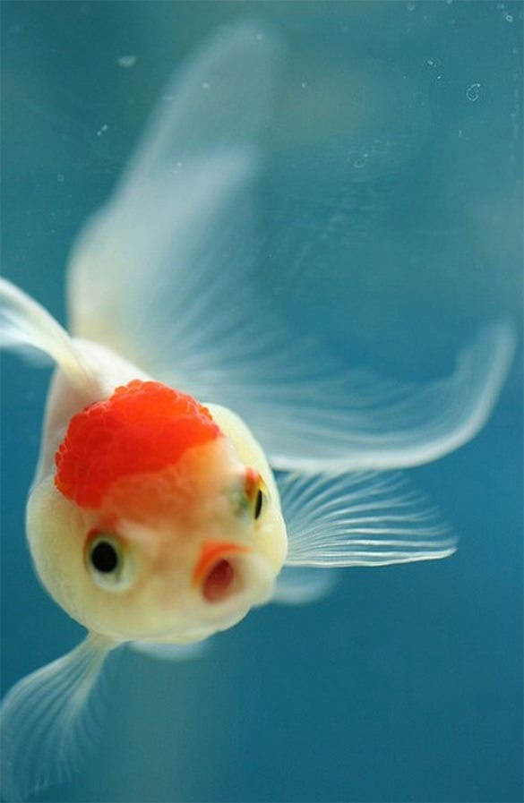 fabulous fish xiaomi mi background