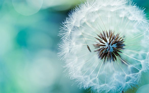 dandelion flower wallpaper for free