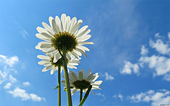 blue sky with daisies wallpaper