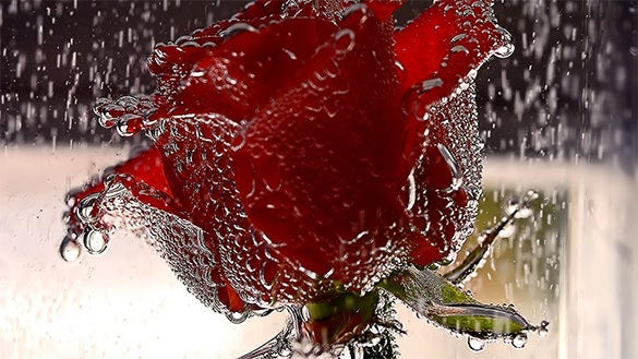 red rose in rain wallpaper for free