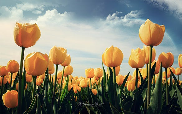 yellow tulip flowers wallpaper download