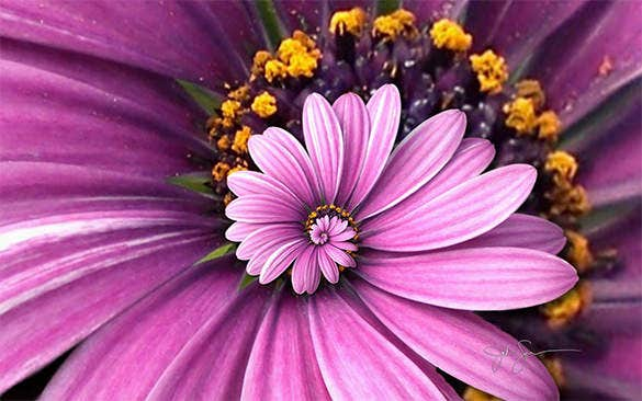 purple droste flower wallpaper download