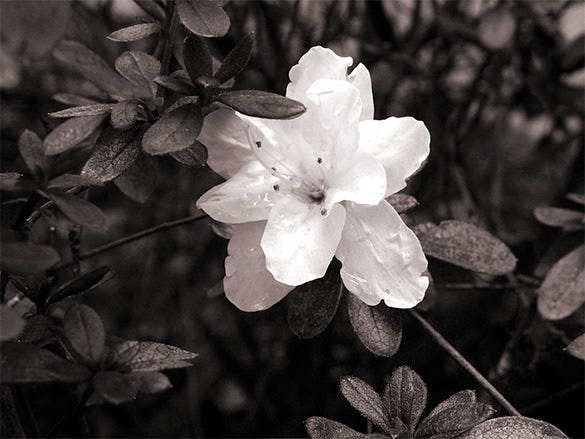 white azalea wallpaper free download