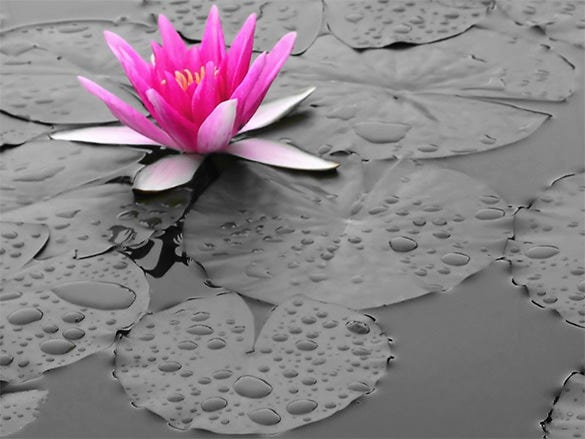 pink lily in water wallpaper