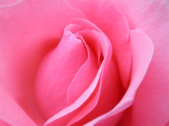 Beautiful Pink Rose Wallpaper Download