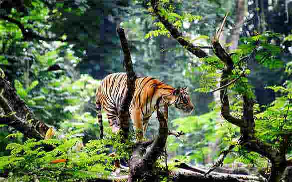 bengal tiger desktop background hd1 111