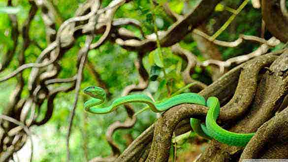 vine snake hd background1
