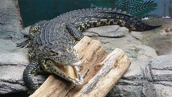 alligatortemplate