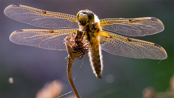 dragonflytemplate