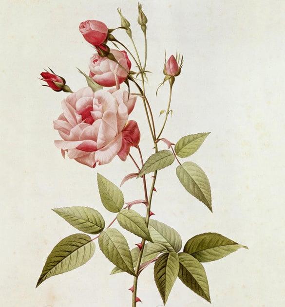rosa indica vulgaris flower painting