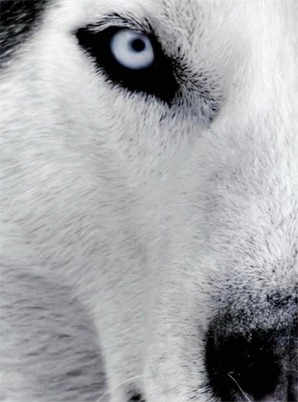 dog husky backgrounds for smartphones download