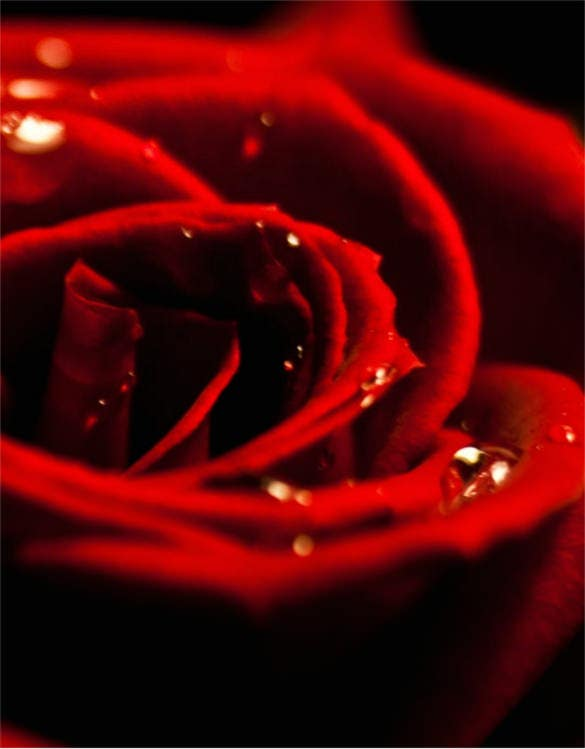 amazing red rose awesome smartphone images