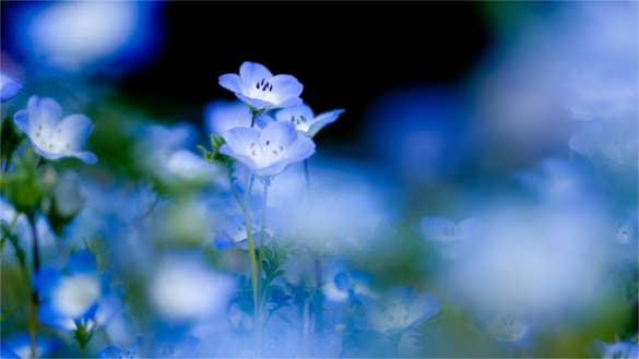 blue beautiful flowersbackground download for desktop