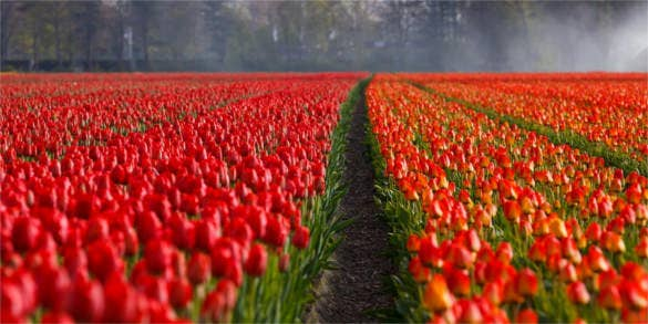 tulips field orange background for photoshop