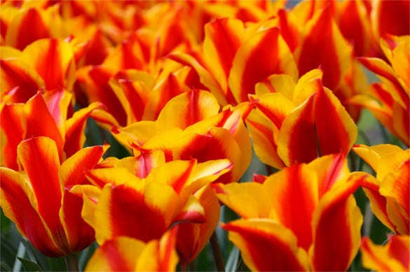 red yellow tulips flower background free for desktop