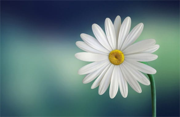 marguerite daisy beautiful flower template background