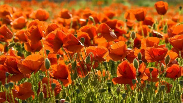 poppies flower field summer background wallpaper