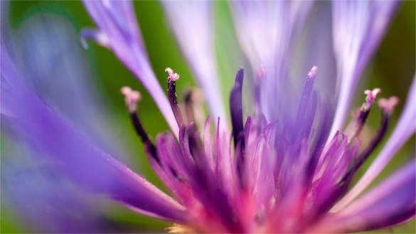 flower of purple hd background for desktop