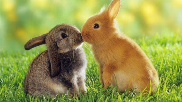 cute kissing rabbits background for desktop download