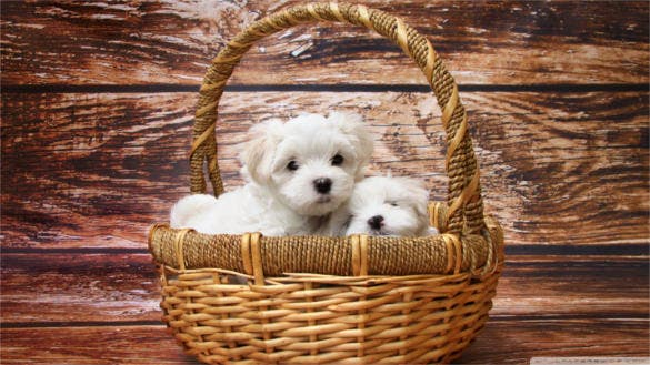 cute maltese puppies wallpaper background download