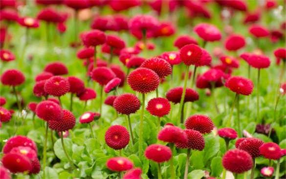 hd background summer red flowers download