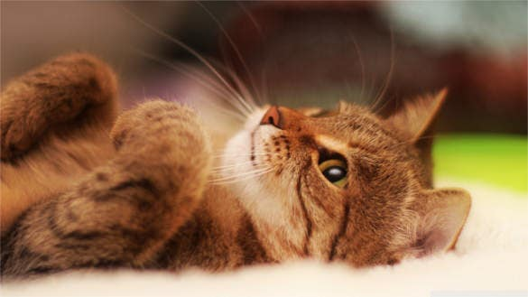 cat lying on back wallpaper desktop background