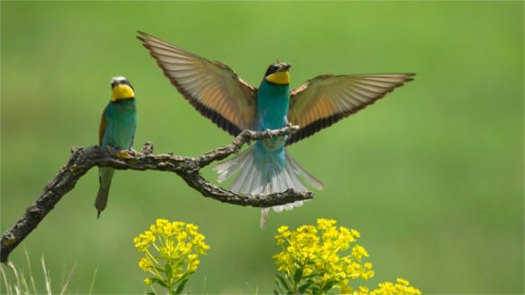 bee eaters background hd for laptop download